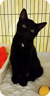Domestic Shorthair Kitten for adoption in Freeport, New York - Elvira