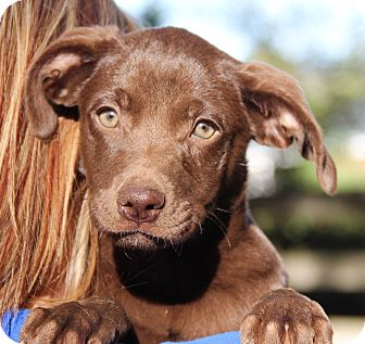 Labrador Retriever/German Shepherd Dog Mix Puppy for adoption in Chicago, Illinois - Godiva
