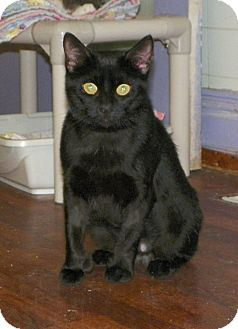 Hemingway/Polydactyl Cat for adoption in Dover, Ohio - Samatha