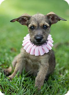 Schnauzer (Miniature)/Chihuahua Mix Puppy for adoption in Glastonbury, Connecticut - Poppy