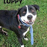 Bernese Mountain Dog Mix Dog for adoption in Houston, Texas - Loppy