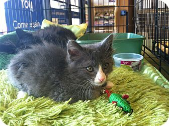Domestic Mediumhair Kitten for adoption in Palm Springs, California - Buttons