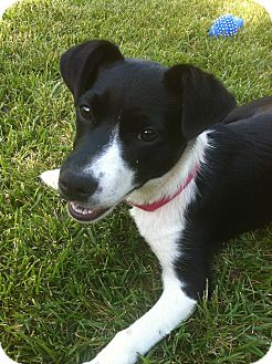 Border Collie/Jack Russell Terrier Mix Dog for adoption in Tracy, California - Magpie -PENDING ADOPTION