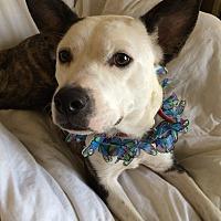 Adopt A Pet :: LuLu - Overland Park, KS