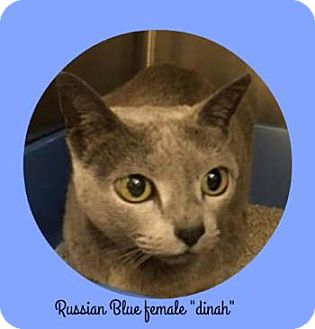 Russian Blue Cat for adoption in Davis, California - Dinah