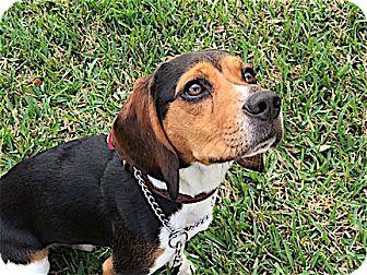 Beagle Dog for adoption in Houston, Texas - Seamus