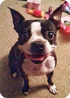 Boston Terrier Dog for adoption in Kingston, Tennessee - Sadie