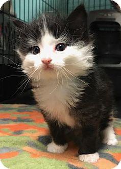 Domestic Longhair Kitten for adoption in Ortonville, Michigan - Jarbou