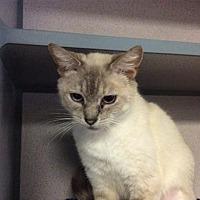 Siamese Cat for adoption in Pomona, California - I1271207