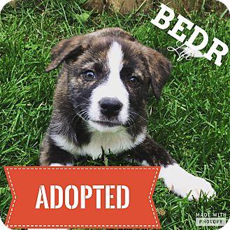 Collie/Bernese Mountain Dog Mix Puppy for adoption in Regina, Saskatchewan - Amy
