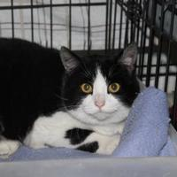 Domestic Longhair/Domestic Shorthair Mix Cat for adoption in Robinson, Illinois - Sheba