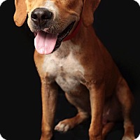 Hound (Unknown Type) Mix Dog for adoption in Tomah, Wisconsin - Neil