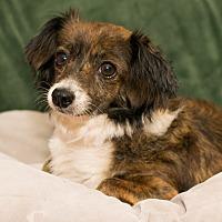 Adopt A Pet :: Pinto - Madison, WI