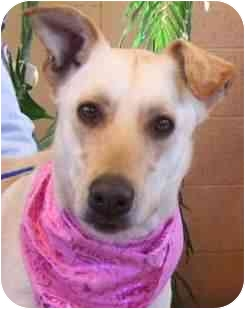 Labrador Retriever Mix Dog for adoption in Las Vegas, Nevada - Nettie