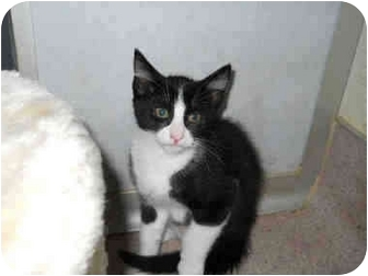 Domestic Shorthair Kitten for adoption in San Clemente, California - BUBBLES