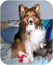 Sheltie, Shetland Sheepdog Dog for adoption in La Habra, California - Mark