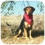 Photo 1 - Black and Tan Coonhound Mix Dog for adoption in Muldrow, Oklahoma - CAESAR II