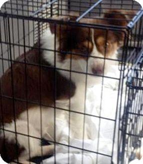 Australian Shepherd Mix Dog for adoption in Mary Esther, Florida - Chase