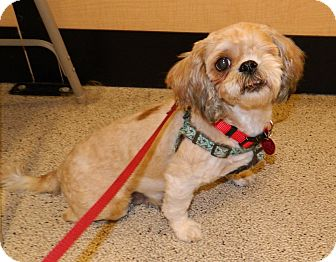 Shih Tzu/Shih Tzu Mix Dog for adoption in Umatilla, Florida - Tootsie