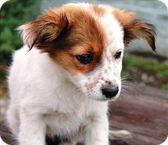 Sheltie, Shetland Sheepdog Mix Puppy for adoption in Oswego, Illinois - I'M ADOPTED Dani Brilliandt