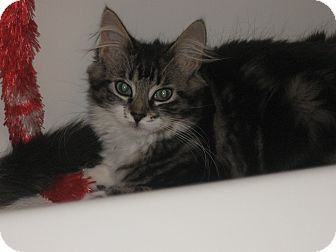 Domestic Longhair Kitten for adoption in Speonk, New York - Paget