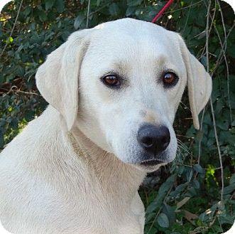 Labrador Retriever Dog for adoption in Westport, Connecticut - *Molly - PENDING
