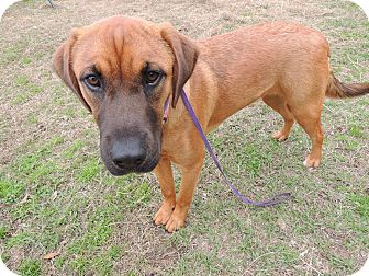 Bloodhound Mix Dog for adoption in Hammond, Louisiana - Jasmine