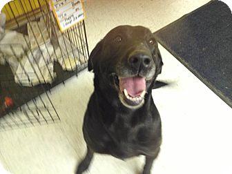 Labrador Retriever Mix Dog for adoption in Evergreen, Colorado - Trudy