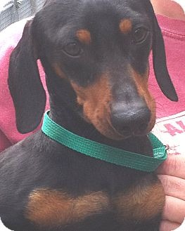 Dachshund Dog for adoption in Orlando, Florida - Bobo