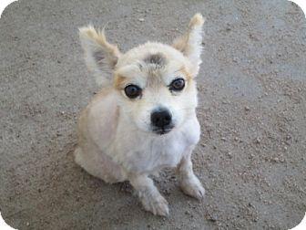 Pomeranian Dog for adoption in Dodge City, Kansas - Sr. Patches