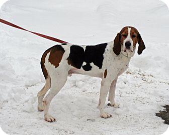 Treeing Walker Coonhound Mix Dog for adoption in Atchison, Kansas - Buckeye