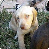 Adopt A Pet :: Angel-Puppy Summer - Altmonte Springs, FL