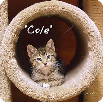 Domestic Shorthair Kitten for adoption in Ocean View, New Jersey - Cole @Petsmart Somers Point