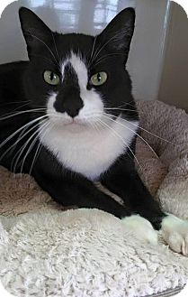 Domestic Shorthair Cat for adoption in Huntsville, Alabama - Cordell (Declawed)