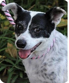 Australian Cattle Dog/Jack Russell Terrier Mix Dog for adoption in Red Bluff, California - Kendric