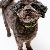 Adopt A Pet :: Ziggy - Austin, TX