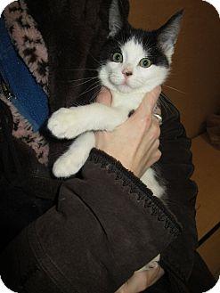 Domestic Shorthair Kitten for adoption in Rochester, Minnesota - Cooper