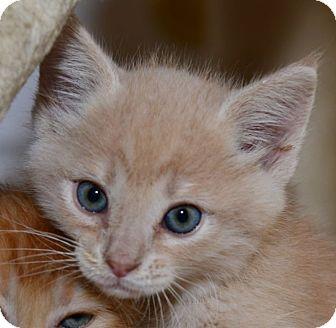 Domestic Shorthair Kitten for adoption in Davis, California - Christopher Brandon