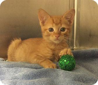 Domestic Shorthair Kitten for adoption in Fairfax, Virginia - Rusty (and Niko)