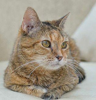 Domestic Shorthair Cat for adoption in Reston, Virginia - Amber - FIV positive