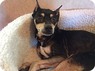 Miniature Pinscher Dog for adoption in Oakland, Florida - Tom