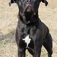 Cane Corso Mix Dog for adoption in Centerburg, Ohio - Blackie