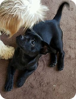 Chihuahua/Terrier (Unknown Type, Small) Mix Puppy for adoption in Covington, Washington - Ellie