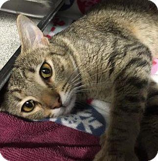Domestic Shorthair Cat for adoption in Voorhees, New Jersey - Cersei-PetValu Voorhees