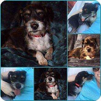 Dachshund/Cairn Terrier Mix Dog for adoption in Phoenix, Arizona - Gordon Ramsey