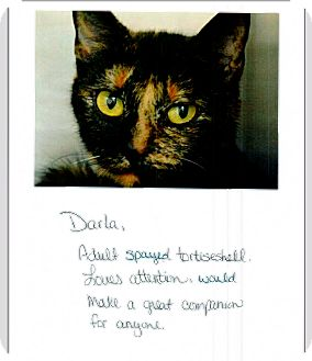 Domestic Shorthair Cat for adoption in East Hartford, Connecticut - Darla (in CT)