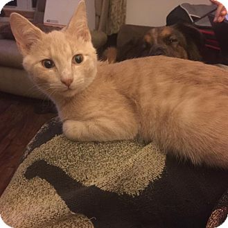 Domestic Shorthair Kitten for adoption in Middletown, Ohio - Wiesel