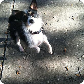 Schnauzer (Miniature)/Westie, West Highland White Terrier Mix Dog for adoption in Boerne, Texas - Patricia
