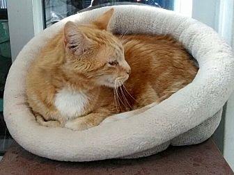 Domestic Shorthair Cat for adoption in Santa Monica, California - Tony