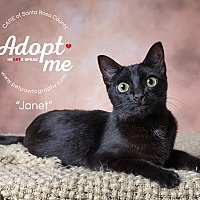 Domestic Shorthair Cat for adoption in Navarre, Florida - Janet